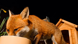 Close-up of a Red fox (Vulpes vulpes) feeding from a bowl in a garden, Birmingham, England, UK, March.  -  Steve Downer