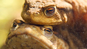 Close up of spawning Common european toads (Bufo bufo) in amplexus, Birmingham, England, UK, April.  -  Steve Downer
