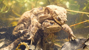 Two male Common european toads (Bufo bufo) with a female, attempting to mate, Birmingham, England, UK, April.  -  Steve Downer