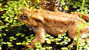 Common european toad (Bufo bufo) at surface of a pond, Birmingham, England, UK, April.  -  Steve Downer