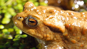 Close-up of a Common european toad (Bufo bufo) at surface of a pond, Birmingham, England, UK, April.  -  Steve Downer