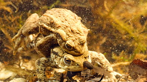 Pair of Common european toads (Bufo bufo) in amplexus, laying eggs, with European common frog (Rana temporaria) tadpoles and Three spined stickleback (Gasterosteus aculeatus) in shot, Birmingham, Engl... - Steve Downer