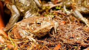 Close-up of a Common european toad (Bufo bufo) in a flower pot, Birmingham, England, UK, April.  -  Steve Downer