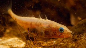 Male Three spined stickleback (Gasterosteus aculeatus) constructing nest, April. Captive. - Steve Downer