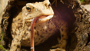 Common European toad (Bufo bufo) catching and eating an earthworm. Captive.  -  Steve Downer