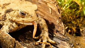 Common european toad (Bufo bufo) catching and eating an earthworm, May. Captive.  -  Steve Downer