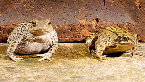 Common european toad (Bufo bufo) with a European common frog (Rana temporaria), June. Captive. - Steve Downer