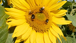 Bumblebees (Bombus) collecting nectar from a Sunflower (Helianthus), Warwickshire, England, UK. August - Steve Downer