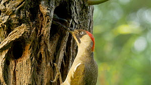 Female Green woodpecker (Picus viridis) feeding chick at nest hole, Bedfordshire, England, UK, June. - Dave Bevan