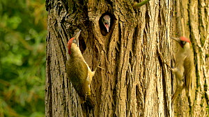 Pair of Green woodpeckers (Picus viridis) feeding chick at nest hole, Bedfordshire, England, UK, June. - Dave Bevan
