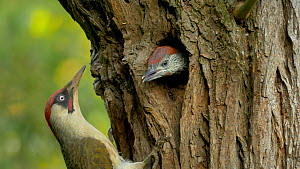 Male Green woodpecker (Picus viridis) feeding chick at nest hole, Bedfordshire, England, UK, June. - Dave Bevan
