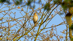 Song thrush (Turdus philomelos) singing in a tree, Bedfordshire, England, UK, June. - Dave Bevan