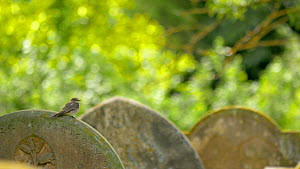 Spotted flycatcher (Muscicapa striata) preening on a grave stone, Bedfordshire, England, UK, June.  -  Brian Bevan
