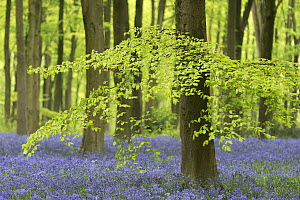 Bluebells and beech trees in West Woods, Wiltshire, England, UK. May 2013. - Adam Burton