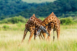 RF- Masai giraffe (Giraffa camelopardalis tippelskirchi) males fighting. Masai-Mara Game Reserve, Kenya. (This image may be licensed either as rights managed or royalty free.) - Denis-Huot
