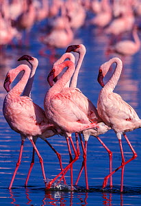 RF- Lesser flamingo (Phoeniconaias minor) males displaying. Lake Nakuru, Kenya. (This image may be licensed either as rights managed or royalty free.) - Denis-Huot