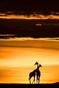 RF- Masai giraffe (Giraffa camelopardalis tippelskirchi) pair at sunrise. Masai-Mara Game Reserve, Kenya. (This image may be licensed either as rights managed or royalty free.) - Denis-Huot