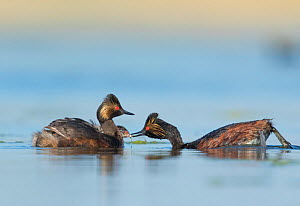 Eared grebes (Podiceps nigricollis), pair, one adult feeding chick riding on the other adult's back, Bowdoin National Wildlife Refuge, Montana, USA  -  Marie  Read
