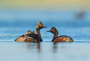 Eared grebes (Podiceps nigricollis), pair, one adult carrying food (damselfly) for two chicks riding on the other adult's back, Bowdoin National Wildlife Refuge, Montana, USA - Marie  Read