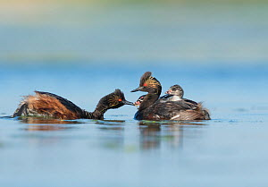 Eared grebes (Podiceps nigricollis), pair, one adult feeding one of two chicks riding on the other adult's back, Bowdoin National Wildlife Refuge, Montana, USA  -  Marie  Read