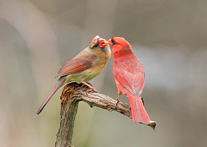 "Northern cardinal (Cardinalis cardinalis) male (right) feeding his mate in spring as part of courtship/pair formation, termed ""allofeeding"", New York, USA,  May. - Marie  Read"