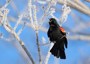 Red-winged Blackbird (Agelaius phoeniceus) male singing from ice-covered branch in early spring, Ithaca, New York, USA. - Marie  Read