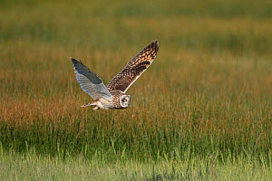 Short-eared Owl (Asio flammeus) male in flight over wet meadow, northern Utah, USA, May.  -  Marie  Read