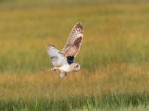 Short-eared Owl (Asio flammeus) adult male in flight carrying prey (rodent) in its talons, northern Utah, USA, May.  -  Marie  Read