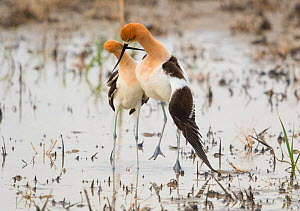 American avocet (Recurvirostra americana) pair performing post-copulatory display (as copulation ends, the male slides off the female leaving his wings draped over her and crossing his bill with hers,...  -  Marie  Read