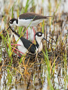 Black-necked Stilt (Himantopus mexicanus) pair building nest in shallow wetland, male in foreground in squatting and pushing backwards with his feet/legs  to form a nest scrape in vegetation the pair...  -  Marie  Read