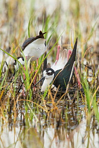 Black-necked sStilt (Himantopus mexicanus) pair building nest in shallow wetland: male in foreground is squatting and pushing backwards with his feet/legs  to form a nest scrape in vegetation the pair...  -  Marie  Read