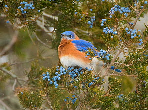 Eastern bluebird (SIalia sialis) male attracted to feed on berries of Eastern red-cedar (Juniperus virginiana) in winter, New York, USA - Marie  Read