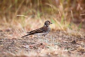Dusky lark (Pinarocorys nigricans) Kruger National Park, South Africa.  -  Richard Du Toit