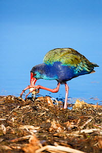 Purple gallinule (Porphyrio porphyrio)feeding, South Africa  -  Richard Du Toit