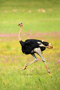 Ostrich (Struthio camelus) male running,  Rietvlei Nature Reserve, Gauteng, South Africa. (This image may be licensed either as rights managed or royalty free.)  -  Richard Du Toit