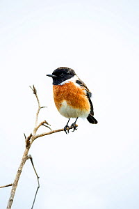 African stonechat (Saxicola torquata) Rietvlei Nature Reserve, South Africa. - Richard Du Toit