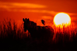 Cattle Egret (Bubulcus ibis) on back Zebra (Equus quagga) at sunrise, Rietvlei Nature Reserve,  South Africa. - Richard Du Toit