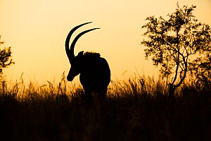 Sable antelope (Hippotragus niger) silhouetted, South Africa. - Richard Du Toit