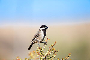 Ashy tit (Parus cinerascens) Namaqua National Park; Northern Cape Province, South Africa.  -  Richard Du Toit