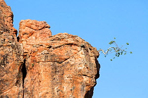 Fig Tree growing out of rocks, Limpopo Province, Mapungubwe National Park, South Africa.  -  Richard Du Toit