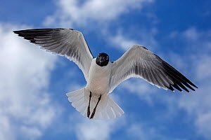 Laughing gull (Leucophaeus atricilla) in flight, Mississippi gulf coast, USA. March.  -  John Cancalosi