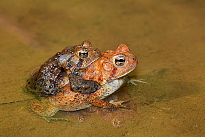 American toads (Bufo americanus) pair in amplexus, Maryland, USA, May.  -  John Cancalosi