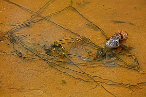 American toads (Bufo americanus) pair in amplexus, laying eggs, Maryland, USA, May.  -  John Cancalosi