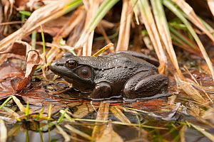 Green frog (Lithobates clamitans) Virginia, USA, April.  -  John Cancalosi