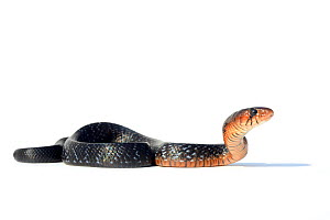 Eastern indigo snake (Drymarchon couperi) on white background. Captive, occurs in South East Asia. - Daniel  Heuclin