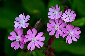 Red campion (Silene dioica) flowers in bloom. Dorset, UK May.  -  Colin Varndell