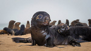 South african fur seal (Arctocephalus pusillus pusillus) two cute pups interacting on beach, Walvis Bay Namibia  -  Wim van den Heever