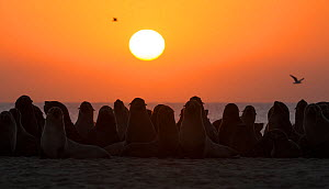 South african fur seals (Arctocephalus pusillus pusillus) colony on beach at dusk, Walvis Bay Namibia  -  Wim van den Heever