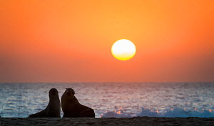 South african fur seal (Arctocephalus pusillus pusillus) two on beach at dusk, Walvis Bay Namibia  -  Wim van den Heever