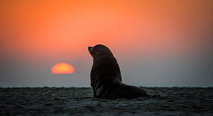 South african fur seal (Arctocephalus pusillus pusillus) on beach at dusk, Walvis Bay Namibia  -  Wim van den Heever